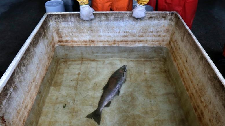 Dead Coho Salmon